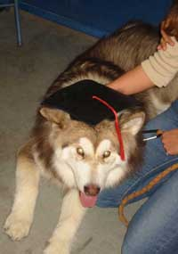 Hudsons Malamutes - Kindred - Canine Good Citizen Graduate